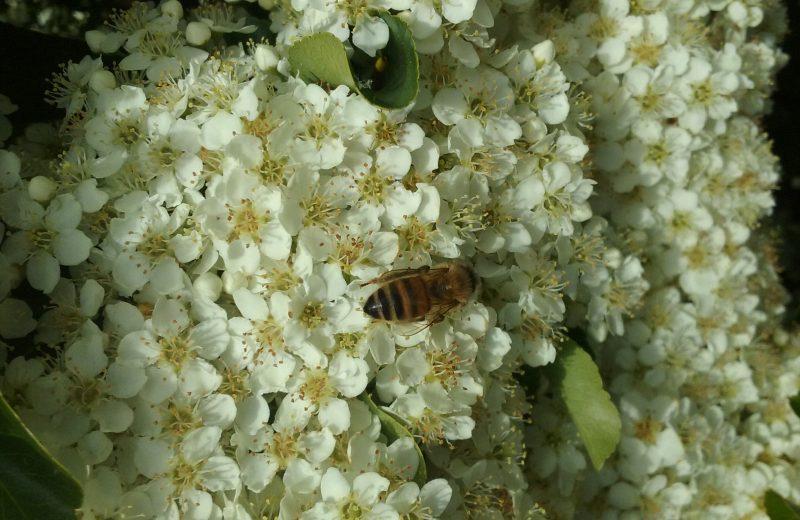 2018-domaine-JLVIAUD-abeille-pyrac-44-levignoblenantes-tourisme