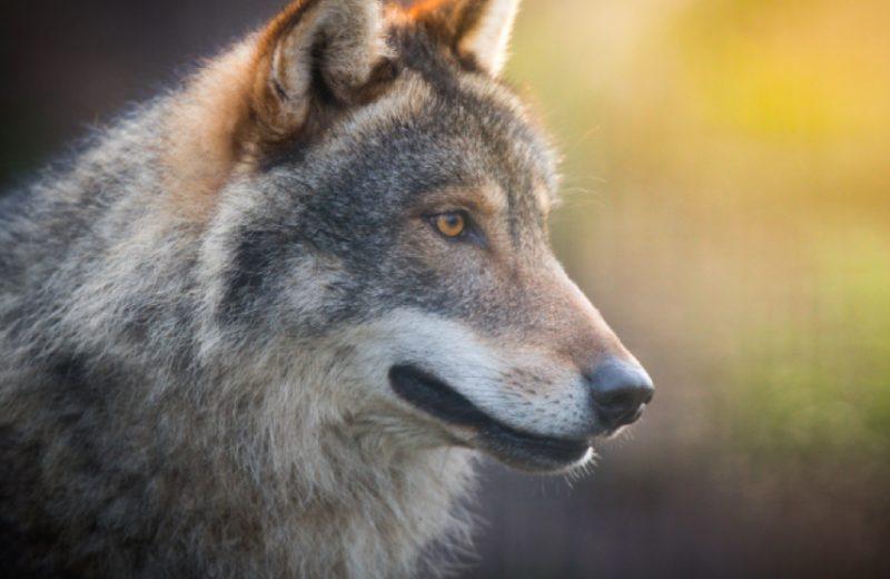 Natural'Parc-E-Sprit-chiens-loups
